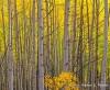 aspen,autumn