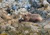 Resting Brown Bear