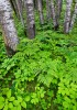 trees,aspen,NWR,national wildlife refuge,Minnesota,ferns,green
