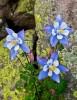 wildflowers,Colorado Columbines,Colorado