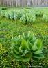 False Hellesbore, Corn Lilly, meadow,Colorado
