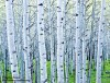 Spring Aspen Grove #3