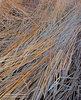 Bosque del Apache NWR,New Mexico, reeds