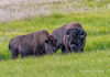 Bull and Cow Bison