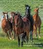 horses, running, Colorado