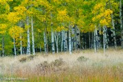 Autumn Aspen Meadow
