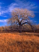 tree, cottonwood, Chico Basin Ranch