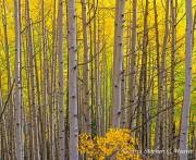 aspen,autumn,
