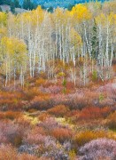 aspen,Fall color,Autumn,willow