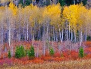 Aspen,Willows and Pines