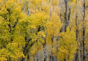 Cottonwood Tapestry