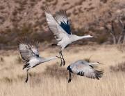 birds,cranes,cranes flying,sandhill cranes,Bosque del Apache NWR,