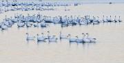 birds,snow geese,geese,Bosque del Apache NWR,