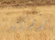 Cranes in the Grass