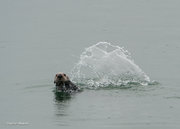 Alaska,Fingers Bay,Glacier Bay NP, Sea Otter