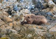 bear, brown bear, Alaska, Glacier Bay National Park