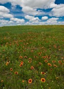 Dodge City, Kansas, Prairie, Spring, flowers,Indian Blanket,wildflowers