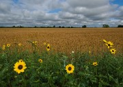 Kiowa County, Oklahoma, Prairie, Spring,wildflowers,wheat field