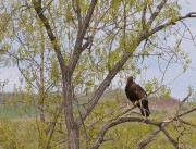 birds,eagle