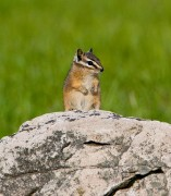 Montana, Red Rock Lakes National Wildlife Refuge,chipmunk