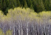 aspen,Spring,growth,Red Rocks Lake National Wildlife Refuge, Montana