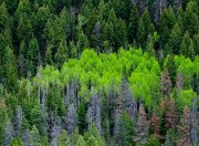 aspens,conifers,Spring,green,Wyoming,Hoback Canyon
