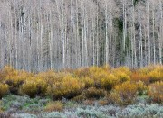 Spring Aspens and Willows #2