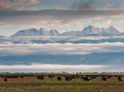 bison,clouds