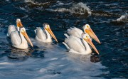 Five White Pelicans
