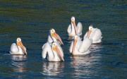 White Pelican,North Dakota,Tewaukon National Wildlife Refuge,
