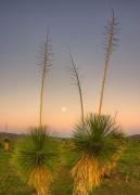 moon-set,sunrise,yucca,Arizona,earth Shadow,Pelloncillo Mountains