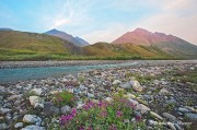 ANWR, Arctic National Wildlife Refuge, Brooks Range, Marsh Fork, fireweed, Canning River