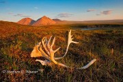 ANWR,Arctic National Wildlife Refuge,caribou,antlers