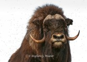 Bull Musk Ox and Friends