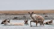 Alaska, caribou