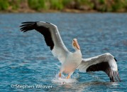 White Pelican,birds,Colorado,Antero Reservoir,