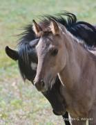 Montana,Pryor Mountains,Wild horses,