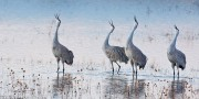 Sandhill Cranes,Bosque del Apache, National Wildlife Refuge, New Mexico,dawn