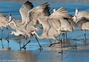 Sandhill Cranes,Bosque del Apache