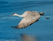Sandhill crane,National Wildlife Refuge