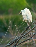 great egret,breeding plumage,Bosque del Apache NWR, New Mexico