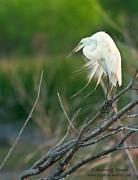great egret,breeding plumage,Bosque del Apache NWR, New Mexico