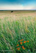 grass,Kansas, wildflowers,Butterfly Milkweed