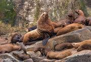 Stellar Sea Lion, Bull sea lion, Glacier Bay, Alaska