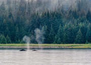 Alaska, Glacier Bay National Park, humpback whales, Bartlett Cove