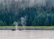 Alaska, Glacier Bay National Park, humpback whales, Bartlett Cove