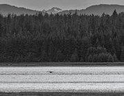 Alaska,Bartlett Cove,Glacier Bay NP,humpback whales