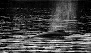 Humpback Whale Blow