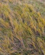Autumn, Cheyenne Bottoms, Kansas. grass