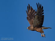 Colorado, Medano Ranch, Swainson's Hawk, Zapata Ranch